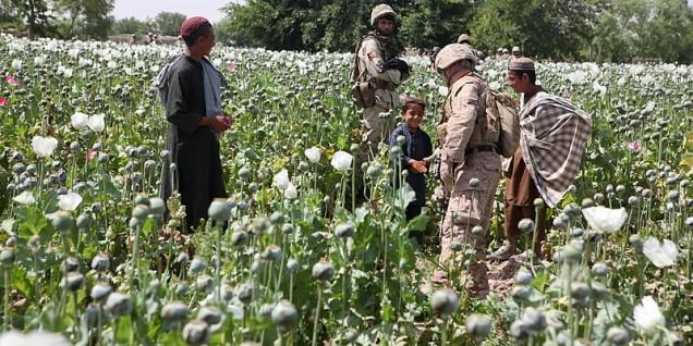 Opium_poppies